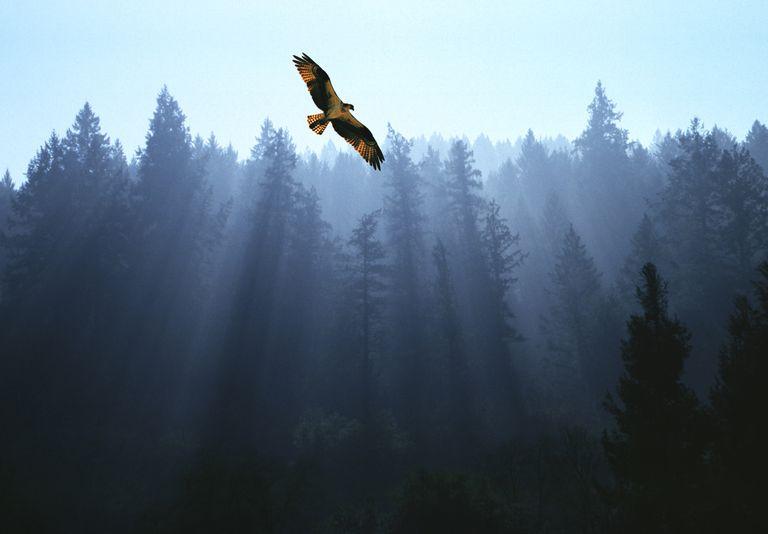 Aguila volando alto encima de árboles