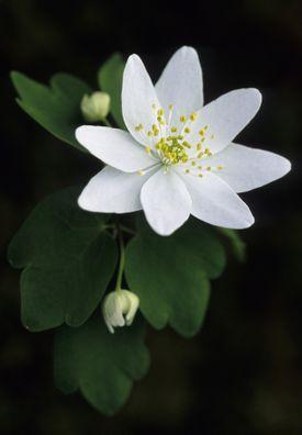 Flor de planta de ruda