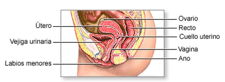 donde está tu útero en tu cuerpo
