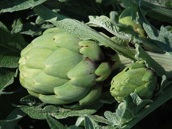 Que planta es bueno para bajar de peso