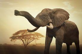 Un elefante africano hembra gigante (Loxodonta africana) al atardecer