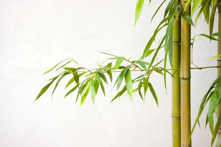 Planta de bambú