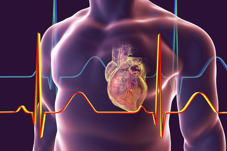 Corazón con vasos coronarios, ilustración
