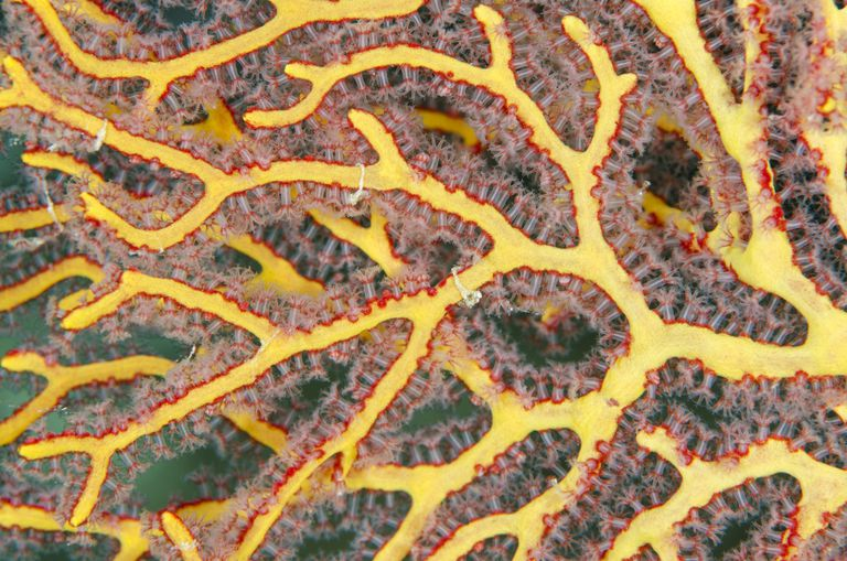Sea fan, showing polyps, Fiji